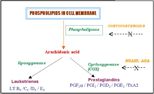Fig 1. Conversion of Arachidonic Acid to lipoxygenase (and to leukotrienes) and COX (leading to prostaglandin formation)